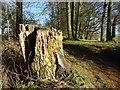 SO9539 : Rotting tree stump by Philip Halling