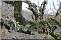 NG4163 : Lobaria pulmonaria - Tree Lungwort by Andy Stephenson