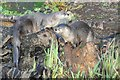 SO7104 : American river otters by Philip Halling