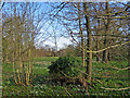 TL4551 : Little Shelford: snowdrops in the Manor House grounds by John Sutton