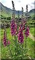 NY2312 : Foxglove - Digitalis purpurea - Borrowdale, Cumbria by Ian Cunliffe