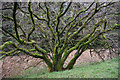 NX5664 : Tree on old railway embankment by Ian Taylor