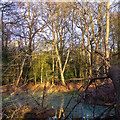 TL4703 : Winter Sun in Gernon Bushes, Theydon Garnon by Roger Jones