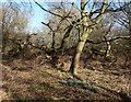 SU2782 : Middle Wood, Ashdown Park by Des Blenkinsopp