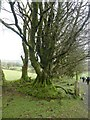 SX5591 : Moss-covered tree roots, South Down, Dartmoor by David Smith