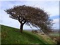 TQ3903 : Wind-shaped tree by Phil Brandon Hunter