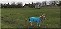 NU0545 : Little donkey at Goswick by Chris Morgan