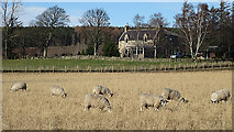 NJ1561 : Sheep at Gowshillock by Anne Burgess