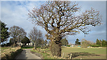 NJ1362 : A Massive Tree by Anne Burgess