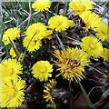 NZ1365 : Coltsfoot (Tussilago farfara), Close House by Andrew Curtis
