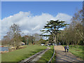 SJ8640 : Trentham Gardens: cedar about to be pruned by Stephen Craven