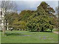 SJ8640 : Trentham Gardens: crocuses and cedar tree by Stephen Craven