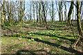 TA2142 : Primroses in Hatfield Wood by Des Blenkinsopp