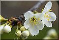 J5180 : Plum blossom, Bangor by Rossographer