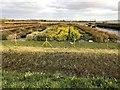 TF4109 : Shrubs at Delamore Nursery near Wisbech St Mary by Richard Humphrey