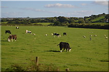 SX5857 : Cattle grazing by N Chadwick