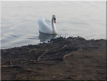 TQ2187 : Swan on the Welsh harp, Kingsbury by David Howard