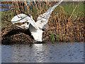 SD7707 : Two Swans at Redbank Lodges by David Dixon