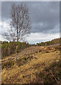 NH6134 : Lone Silver Birch by valenta