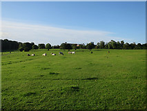 NZ2365 : Cows in Castle Leazes by Hugh Venables