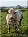J5675 : Bull near Millisle by Rossographer