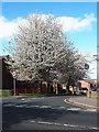 SE2435 : Blossom on Wesley Terrace, Bramley by Stephen Craven
