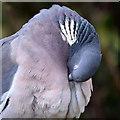 NT4936 : A preening wood pigeon (Columba palumbus) by Walter Baxter