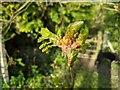 TF0820 : Quercus robur, by Bob Harvey