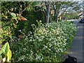 TF0820 : Cow parsley in Beech Avenue by Bob Harvey