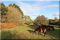 SO3829 : Exmoor ponies on Ewyas Harold Common by Hugh Venables