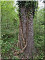 TF0820 : Stems of Hedera helix by Bob Harvey