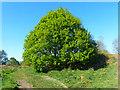 ST2886 : Oak Tree, Gaer Fort, Newport by Robin Drayton