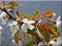 NT8754 : Wild Cherry blossom by the Whiteadder Water by James T M Towill