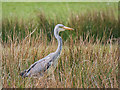 SD7908 : Heron at the side of the Manchester, Bolton and Bury Canal by David Dixon