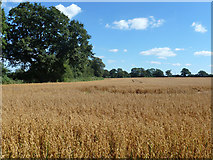 SU8518 : Field of oats, Bepton by Robin Webster