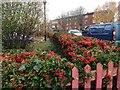 SP2865 : Pyracantha hedge, Warwick Hospital by Robin Stott