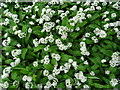 SO7744 : Wild garlic by Philip Halling
