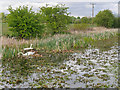 SD7908 : Swans Nesting on the Manchester, Bolton and Bury Canal near Fishpool by David Dixon