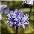 J5683 : Spring Squill, Orlock by Rossographer