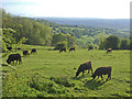 ST7169 : Grazing cattle by Congrove Wood by Neil Owen