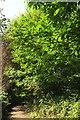 SX8257 : Sweet chestnut near Sharpham by Derek Harper