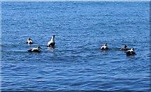 NT3597 : Eider ducks by Bill Kasman