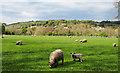 NZ0737 : Sheep in field on north side of Wolsingham by Trevor Littlewood