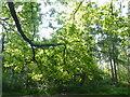TF0820 : Sun and Oak Tree by Bob Harvey