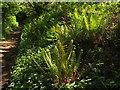 SX8870 : Ferns by the Carriage drive by Derek Harper