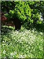 SO7743 : Cow parsley and oak by Philip Halling