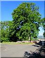 ST2991 : Dominant oak on a Malpas corner, Newport by Jaggery