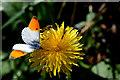 H3965 : Orange tip butterfly, Glennan by Kenneth  Allen