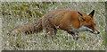 NJ3557 : Fox (Vulpes vulpes) by Anne Burgess