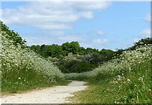 SK6735 : A corridor of cow parsley by Alan Murray-Rust